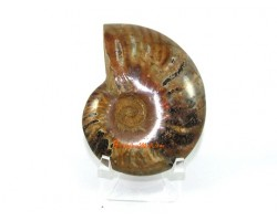 Ammonite Shell on Stand